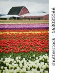 Tulip Fields. The Skagit Valle...