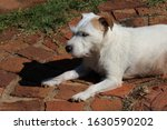 White Parsons Jack Russell...