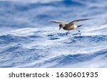 Small photo of Madeiran Storm Petrel (Oceanodroma castro granti), also known as Band-rumped and Grant's Storm Petrel, flying over the ocean off Madeira in the Atlantic ocean.