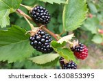 Thornless Blackberry Plant With ...