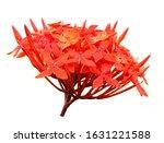 Beautiful Ixora Chinensis...