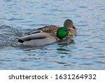 Pair Of Mallard Ducks Swimming