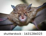 Intermediate Horseshoe Bat (Rhinolophus affinis),that live in caves Is a nocturnal animal Foul and dirty These bats are a collection of many diseases. And Colona virus. - stock photo