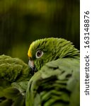 Small photo of Yellow-crowned Amazon parrot (amazona ochrocephala) perched on a branche