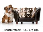 Dog Family   English Bulldog...