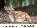 A White Tailed Deer Resting In...