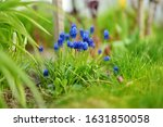 Grape Hyacinth Or Armeniacum...