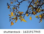 Sunlight On Yellowing Leaves O...