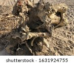 Remains Of A Dry Tree On The...