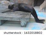 Sea Lion Leaning On Aquarium...