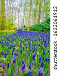 Grape Hyacinths   Muscari At...