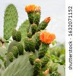 Opuntia Cactus Flower In...