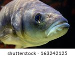 a fish underwater close up | Shutterstock . vector #163242125