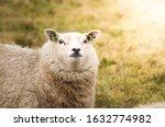 Furry Sheep Strolling In...