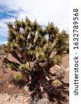 The Joshua Tree Or Yucca Palm ...