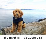 Goldendoodle Puppy By The Lake