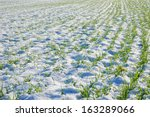 Grain Field Covered By Snow In...