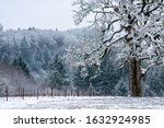 A Snow Covered Oak Tree Stands...
