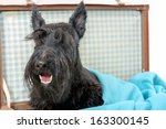 Playful Scottish Terrier In...
