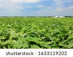 Harvesting Cucumbers In The...