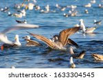 Young Seagulls Pother Screamin...