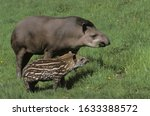 Female And Young Lowland Tapir...
