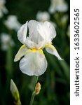 White Bearded Iris Spring...