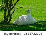 White Peacock Sits On The Gree...