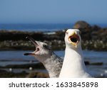 An Adult Seagull Shouting With...