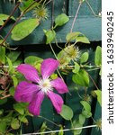Natural Clematis Flower In...
