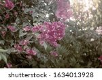 A Flowering Ornamental Southern ...