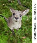 Cute Kangaroo Looking At The...