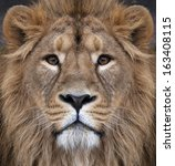 Stock photo the face of an asian lion the king of beasts biggest cat of the world looking straight into the 163408115