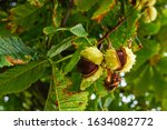 Conkers On A Horse Chestnut Tree