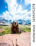A Curious Marmot In Rocky...