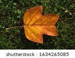 Wet Autumn Leaf On A Green...