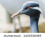 Small photo of closeup of a demoiselle crane. portrait of a demoiselle crane.