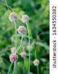 Organic Herb Flower Garlic...