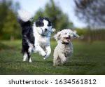 Small photo of Miniature Poodle playing with working sheep dog border collie. Jumping, running and being happy playing fetch.