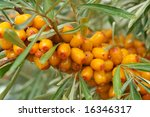 Ripe Berries Of Sea Buckthorn...