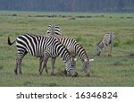 zebras in kenya wildlife | Shutterstock . vector #16346824