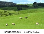 Green Meadows With Sheep...