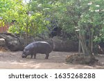 Hairless Pygmy Hippos Are...
