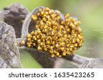 Spotted Orb Weaver Spider...