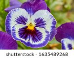 Blue With White Flower Pansies...