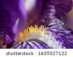 Details Of Purple Iris With...