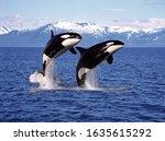 Killer Whale Orcinus Orca  Pair ...