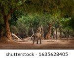 African Bush Elephant  ...
