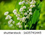 Blooming Lily Of The Valley...
