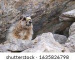 Hoary Marmot  Banff National...